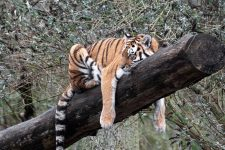 A wild tiger's excesses. Or an ocelot.